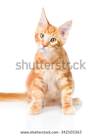 Curious maine coon cat looking at the camera. isolated on white background - stock photo