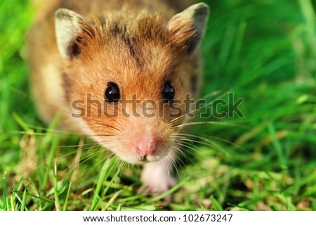 Curious male syrian hamster walking outdoors on the grass, looking straight at the camera. - stock photo