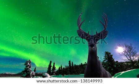 Curious mule deer  Odocoileus hemionus  staring in camera while photographing spectacular display of green Northern Lights  Aurora borealis over moon-lit boreal forest taiga - stock photo