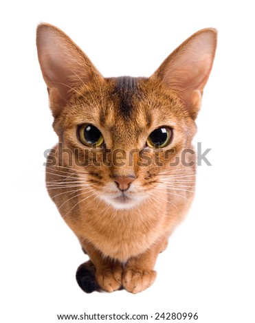 Curious red cat isolated on white - stock photo