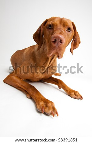 Curious Red Dog on White Background - stock photo
