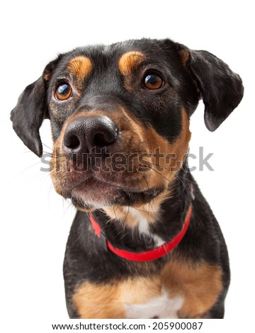 Curious Rottweiler young dog looks to the side of the camera - stock photo