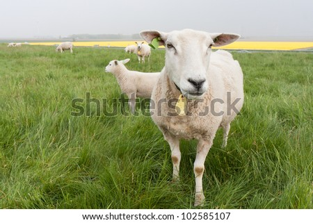 Curious sheep from the Netherlands - stock photo