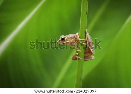 curious small tree frog  in green background leafs - stock photo
