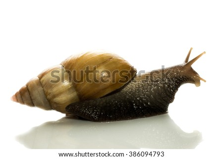 curious snail peeps out from behind cover on a white background - stock photo