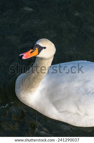 Curious Swan In Pond - stock photo