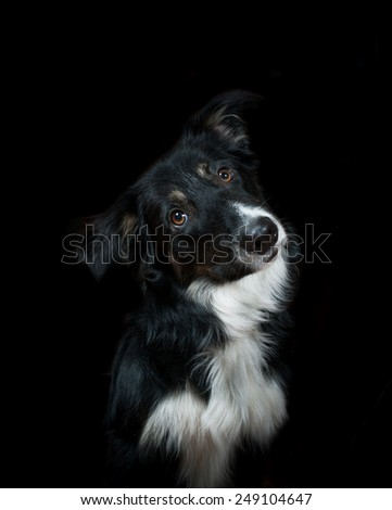 Curious tricolor border collie dog on a black - stock photo