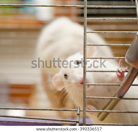 Curious white rat in a cage (shallow DOF, focus on the rat paws and nose) - stock photo