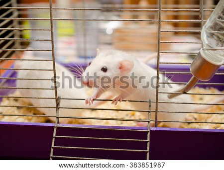 Curious white rat in a cage (with focus on the rat eyes) - stock photo
