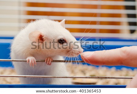 Curious white rat looking at a finger (selective focus on the finger and rat nose) - stock photo