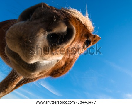curious wild horse looking down - stock photo