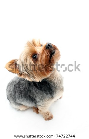 Curious Yorkshire Terrier looking up - stock photo