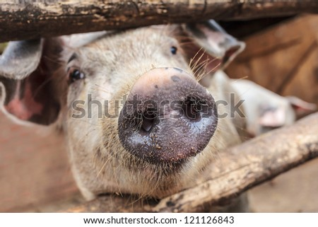 Curious young pig in a wooden stable on an organic farm - stock photo