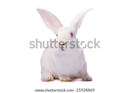 Curious young white rabbit isolated on white background - stock photo