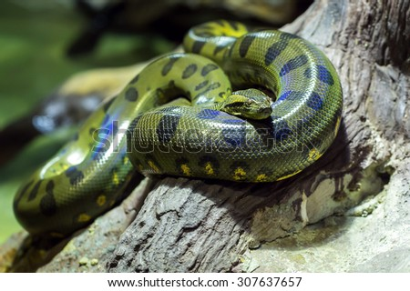 curl up on the tree boa - stock photo