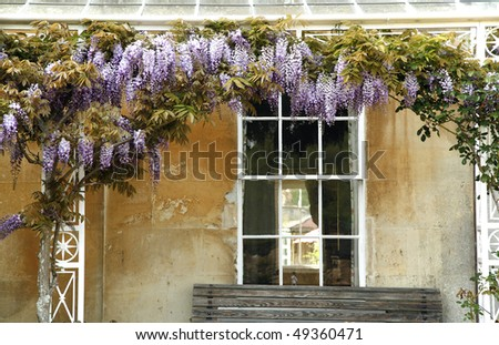 curling flowering tree on the facade of country house - stock photo