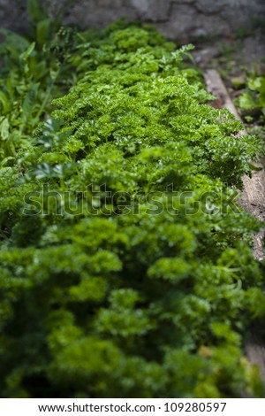 Curly parsley - homemade vegetable - stock photo
