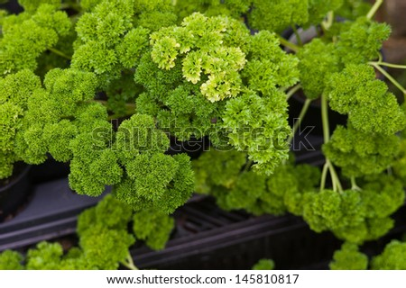 Curly parsley leaves closeup in the garden - stock photo