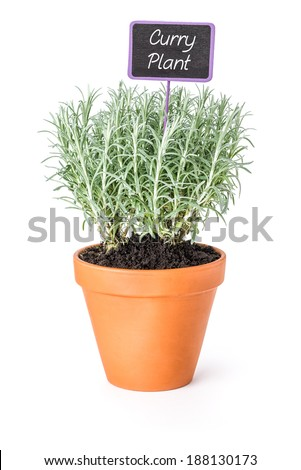 Curry plant in a clay pot with a wooden label - stock photo