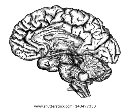 cursory drawing brain on white background - stock photo