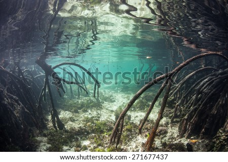 Curved prop roots descend from mangrove trees into the shallow waters of Raja Ampat, Indonesia. Mangroves serve as nurseries for juvenile fish, protect coastlines from erosion and reefs from runoff. - stock photo