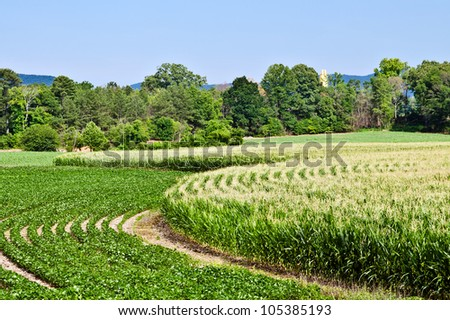 Curved rows of corn and soybeans growing in summer - stock photo