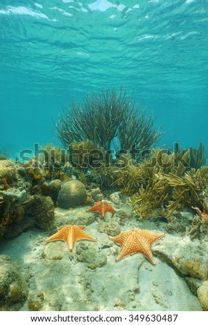 Cushion sea stars underwater on a coral reef in the Caribbean sea, Costa Rica, Central America - stock photo