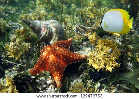 Cushion starfish underwater with an Atlantic triton trumpet sea shell and a butterflyfish - stock photo