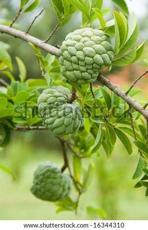 Custard apples growing on a tree - stock photo