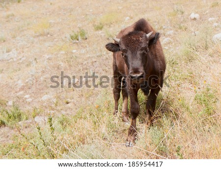 Custer State Park in South Dakota is one of the many places across the country that have helped the American Bison make a comeback. - stock photo