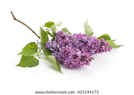 Cut blooming branch of lilac lies on a white background. Studio shot on pure white background. - stock photo