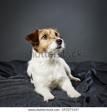 Cute adult Jack Russell terrier, four years old female - studio shot and gray background - stock photo