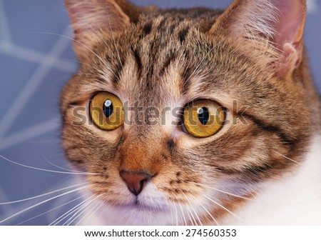 Cute adult tabby with long moustaches over blue background - stock photo