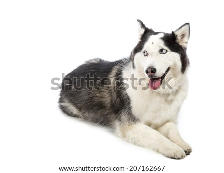 Cute Alaskan Malamute or Husky breed dog laying down and smiling and isolated on white in Black and white. - stock photo