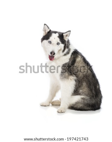 Cute Alaskan Malamute or Husky breed dog seated and smiling and isolated on  white.  - stock photo