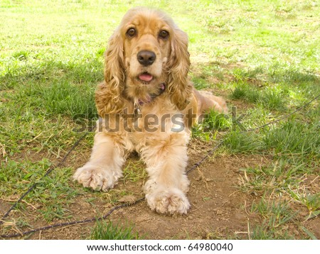 Cute American Cocker spaniel puppy, with big sad eyes, lying at the garden - stock photo