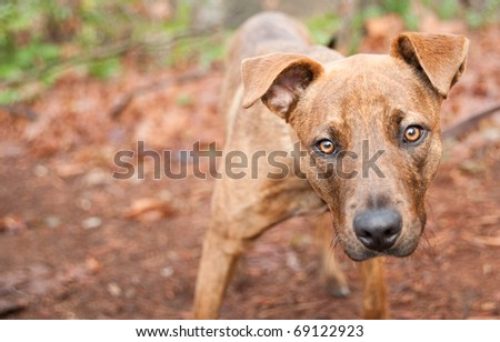 Cute American Pitt Bull Mix Dog Enjoying Walk in Park - stock photo