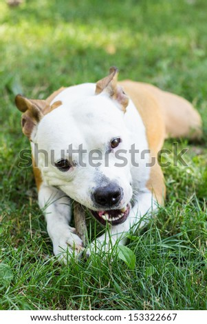 Cute American Stafford shire Terrier lying down and chewing wooden stick in the park - stock photo