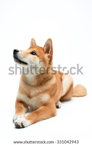 Cute and adorable shiba inu puppy on pure white background - stock photo