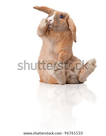 Cute and beautiful rabbit sitting. Isolated on white background, reflection, a lot of copy space. Surprised or shocked, paw at his mouth. - stock photo