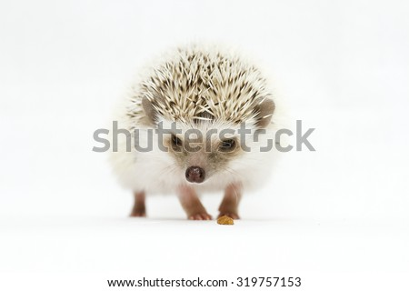 cute and curious african pygmy hedgehog in white background - stock photo