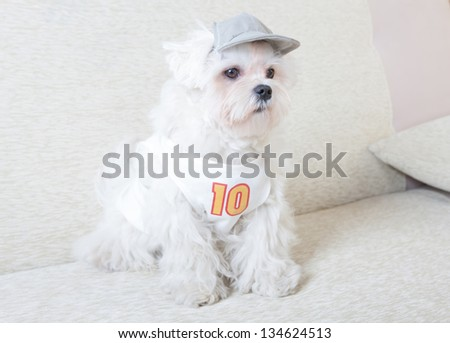Cute and fluffy young Maltese, wearing cap and tshirt, sitting on sofa. - stock photo