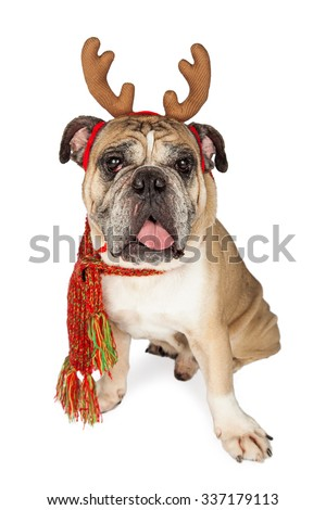 Cute and funny Bulldog breed dog wearing Christmas reindeer antlers and a neck scarf - stock photo