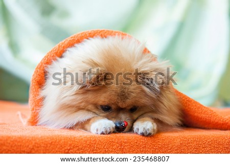 cute and funny pomeranian puppy game with ladybirds on an orange background - stock photo