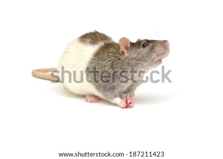 cute and funny rat eats a piece of sausage - stock photo