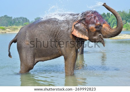 Cute Asian elephant blowing water out of his trunk in Chitwan N.P. Nepal - stock photo