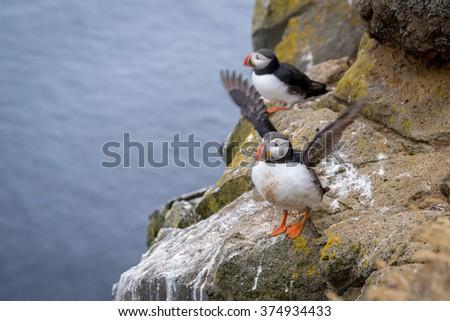 Cute Atlantic puffin (Fratercula arctica) preparing for flight, Iceland - stock photo
