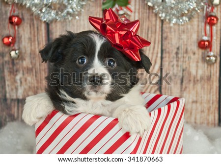 Cute Australian Shepherd puppy popping up out of a gift with a red Christmas bow on her head. - stock photo