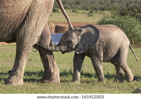 Cute baby African elephant following behind it's mother - stock photo