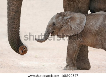 Cute baby African elephant reaching out with it's trunk to it's mother - stock photo